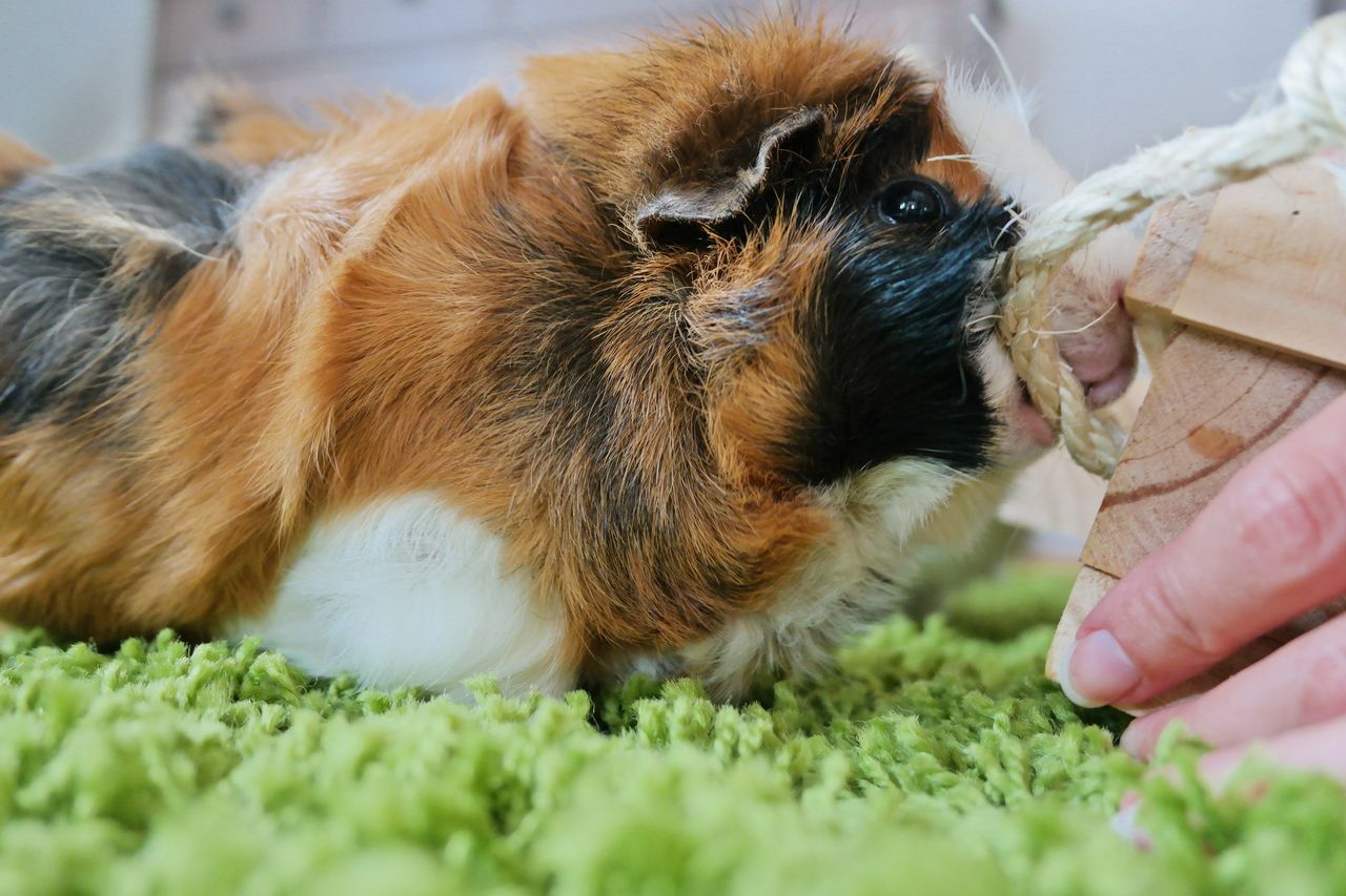 Beautiful stock photos of guinea-pigs, Animal Hair, Animal Themes, Close-Up, Cropped