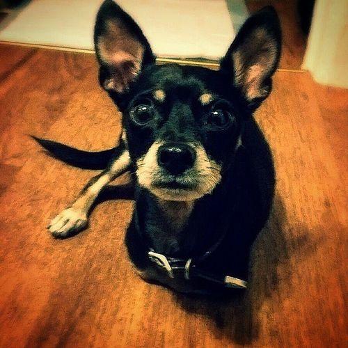 This handsome guy.. Chiwowow @labunymoore Dogsofnyc Dogsofinstagram Chihuahua Chihuahuasofinstagram Dogsofbrooklyn Dogsofbk