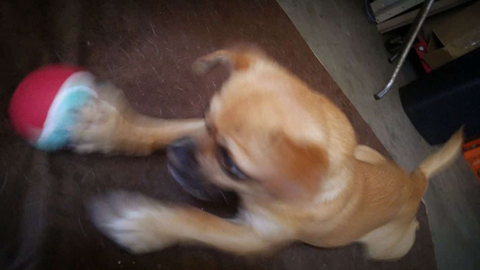 """Gotcha!"" Chug Chihuahuamix Pugmix Chihuahua Pug Dog Small Dog Playful Playful Pups Playful Dog Sillypuppy"