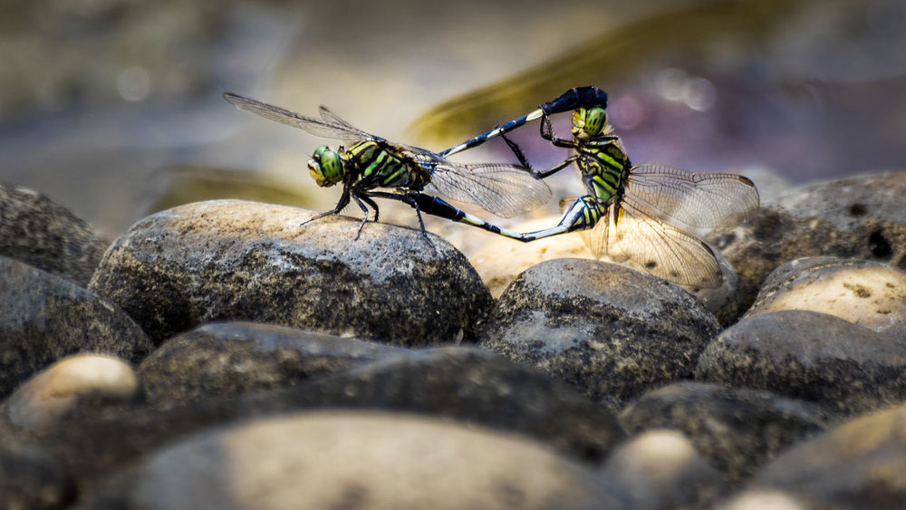 Mating Animals In The Wild Close-up Damselfly Day Insect Mating Pair Of Insects Nature No People Outdoors Rock - Object