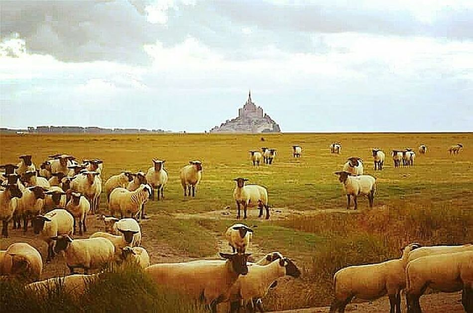Travel Landscape Cloud - Sky Herd Animal Beauty In Nature Animal Themes Scenics Outdoors Day Capture The Moment EyeEmBestEdits The Week On Eyem Fine Art Photography Exceptional Photographs Mont Saint Michel Bay Mont Saint-Michel Abbey