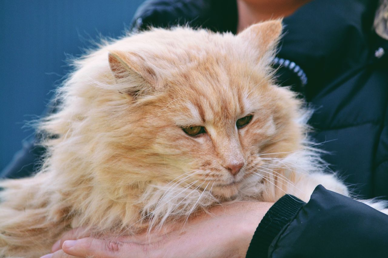 Big fluffy cat Mammal One Animal Pets Animal Themes Domestic Animals Domestic Cat Feline Real People One Person Human Body Part Whisker Day People Cat Pet Fluffy Furry