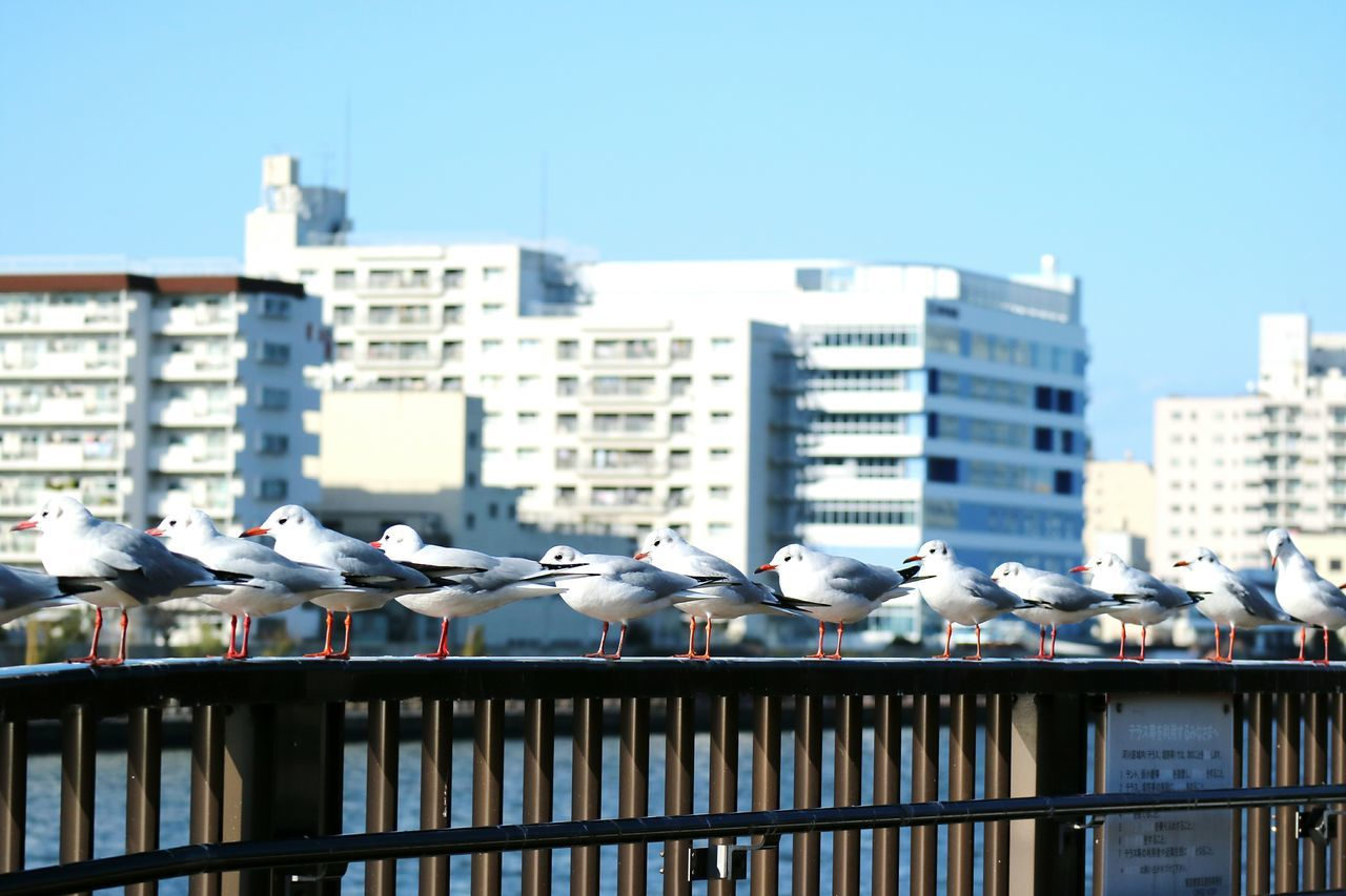 Birds Bird Blackheaded Gull Manybird Riverside Tokyo Japan