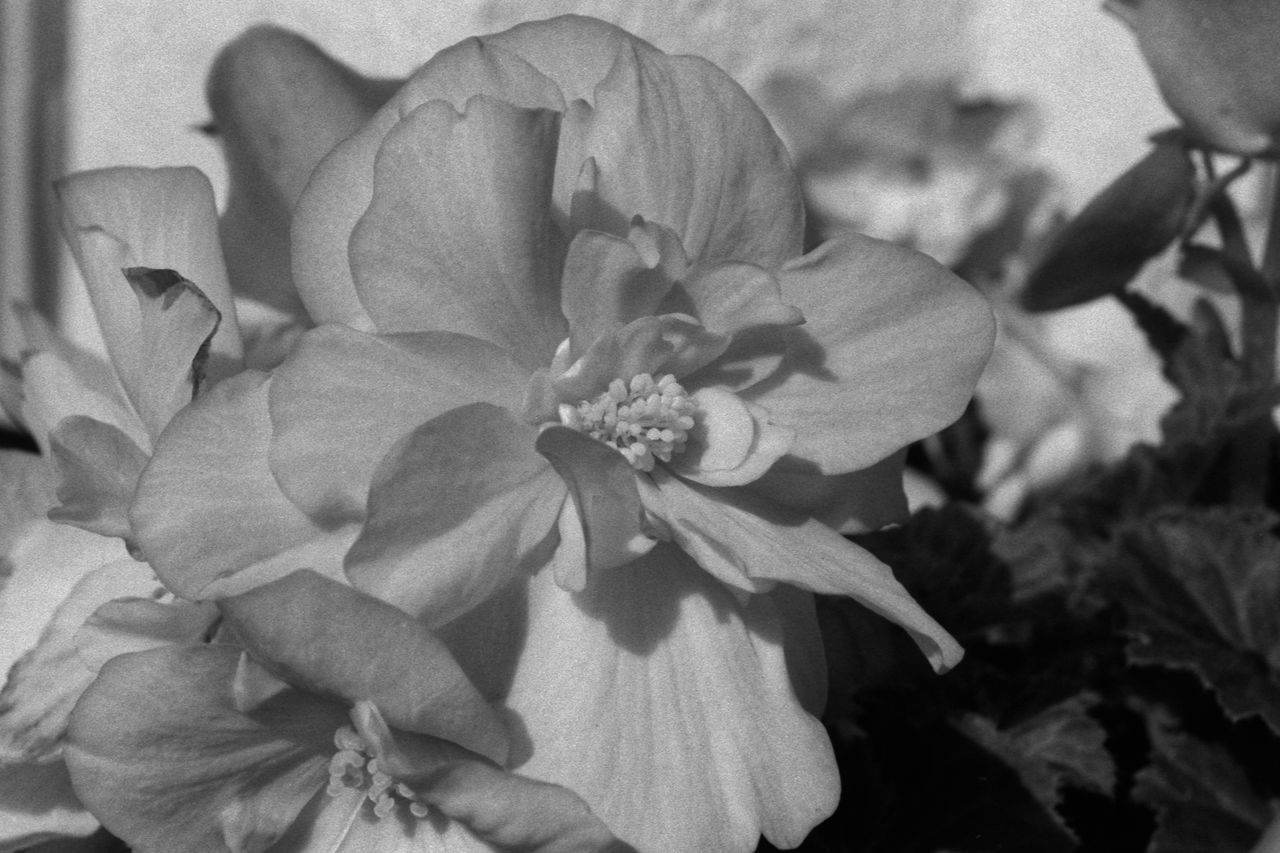 Begonias 35mm Film Analogue Photography Begonia Begonia × Tuberhybrida Black & White Bloom Blooming Blossom Flora Flowers Fomapan100 Garden Nature Plant Planter Rodinal