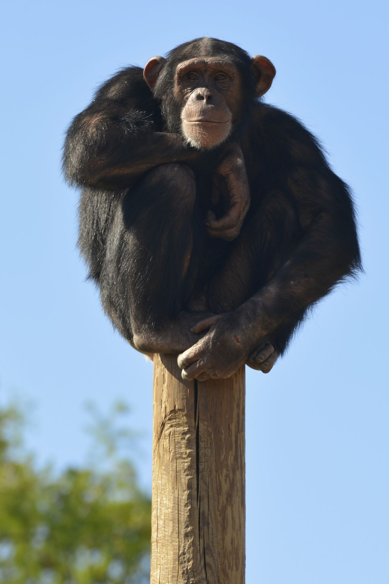 Chimpanzee Got Wood Sitting Pretty My Stick! Little Rock, Arkansas Little Rock Zoo Taking Photos Cheese! Hello World Color Photography Challenge Yourself Hi! Time With My Daughter