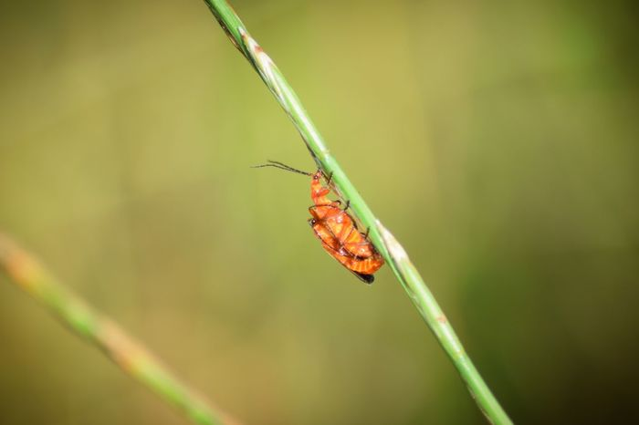 Red Solidier Beetle Mating Insect Nature Outdoors Bug Mating Red Soldier Beetle Lancing  Beetle Red Grass