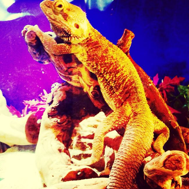 IPhoneography EyeEm Nature Lover Portrait Beautiful Nature Animal_collection Bearded Dragon Love