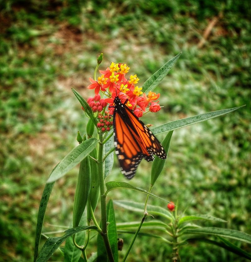Butterfly beauty Animal Themes Animals In The Wild Close-up Flower Head Focus On Foreground Insect Monarch Butterfly On Flower. No People One Animal Outdoors Pollination