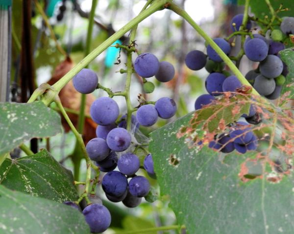 Beauty In Nature Close-up Concord Grapes Concords Day Focus On Foreground Freshness Garden Photography Grape Vine Grapes Grapes Leaves Grapes Nature Photography Grapevine Green Green Color Growing Growing Fruits Growth Nature Outdoors Purple Fruit Ripe Ripe Fruit Ripe Fruits Vegetarian Lifestyle