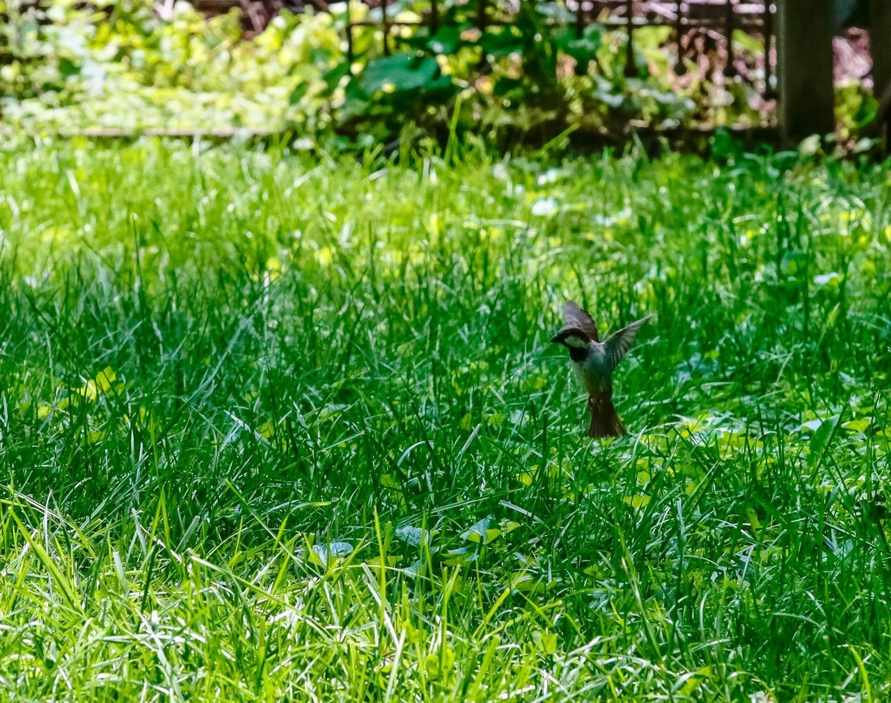 green color, one animal, animal themes, animals in the wild, grass, nature, animal wildlife, bird, squirrel, wildlife, day, outdoors, growth, no people, field, sparrow, beauty in nature, close-up, mammal