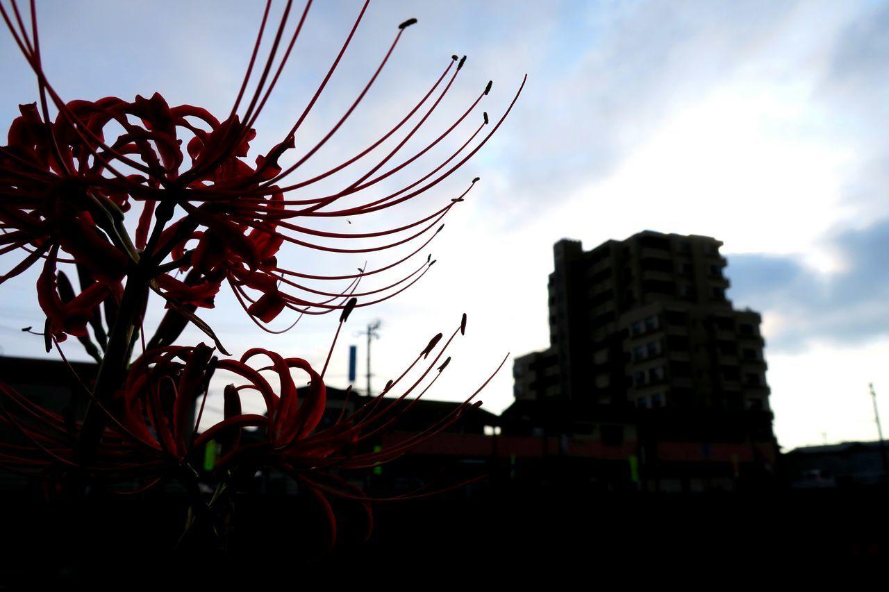 街中にて Sky City Cloud - Sky Skyscraper Plant City Life Flower Streetphotography City Life Canon Powershot G9X Freshness Close-up Plant Focus On Foreground Beauty In Nature Nature Fukuoka,Japan Flower Head Redspiderlily Red Flower Red Bokeh My Favorite Place