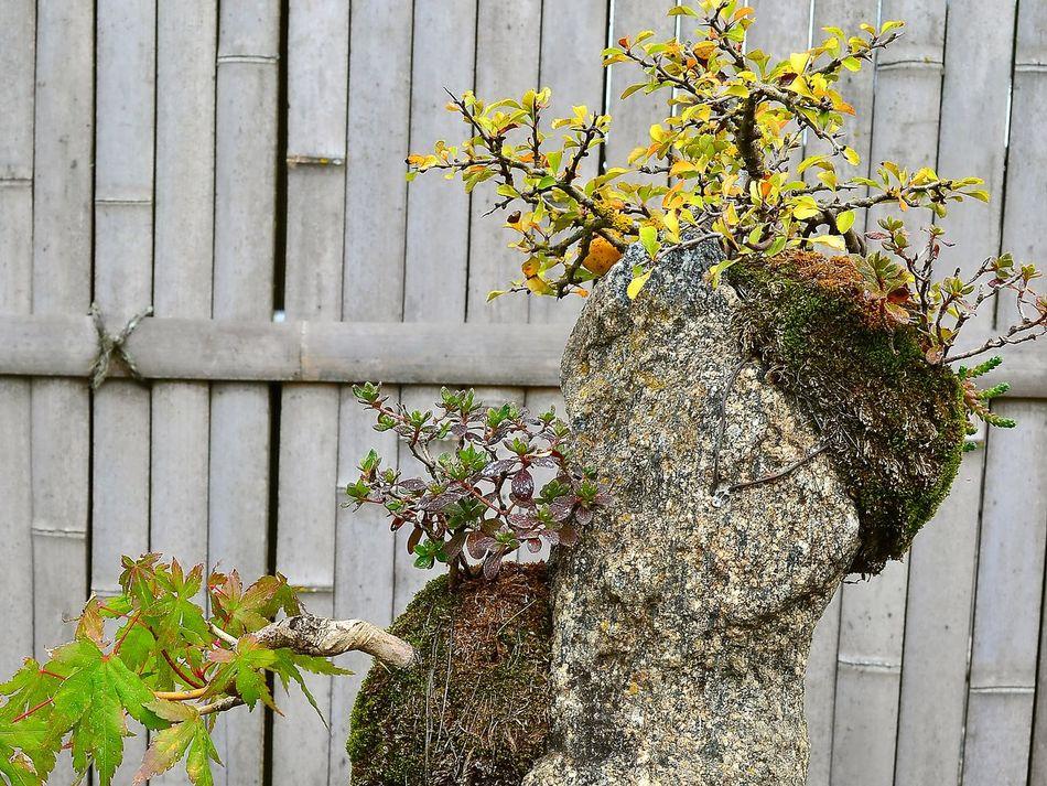 Bonzini Japanese Garden