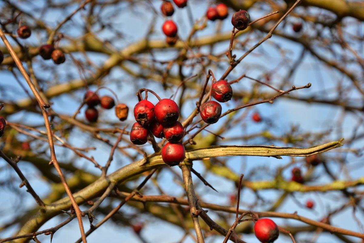 Fruit Red Nature Close-up Outdoors Tree Day No People Branch Beauty In Nature Scandinavia Sky Travel Denmark Plant Visitaeroe Nofilternoedit EyeEmNewHere