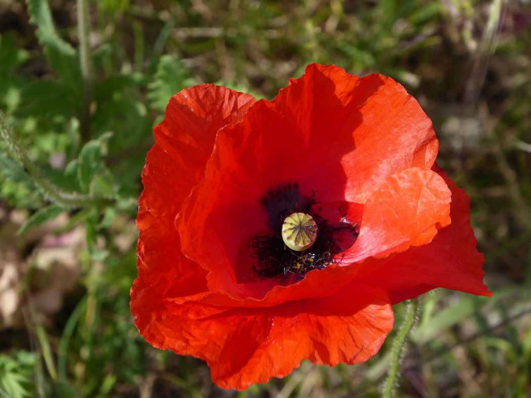 Happy Weekend 😚😚😚😚 Poppy Nature Flower Head Close-up Beauty In Nature Focus On Foreground Simple Beauty Enjoying Life Tranquil Scene My Soul's Language Is📷 Eye4photography  For My Friends 😍😘🎁 Thankful🦄 Nature Simple Things Are The Best  Favoriteflower Love Poppys Sommergefühle