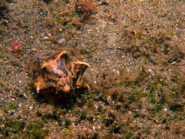 Conch Seacreature Seacreatures Scuba Diving SCUBA Uwphotography Underwaterworld Scubadiving Diving Conchshell