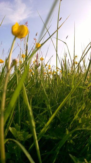 Meadow Summer Buttercups