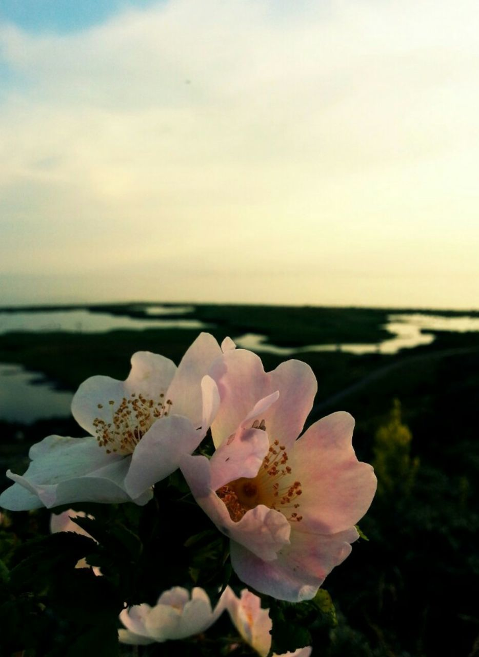 flower, beauty in nature, nature, petal, fragility, growth, freshness, flower head, plant, no people, close-up, blooming, pink color, outdoors, day, sky, water
