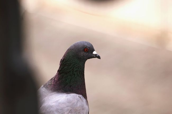 Focus Object Animal Bird One Animal Animal Wildlife Nature Close-up No People Outdoors Day Photooftheday Lightroom Photography Nature Focus On Foreground Pigeon Pigeons Pigeonslife