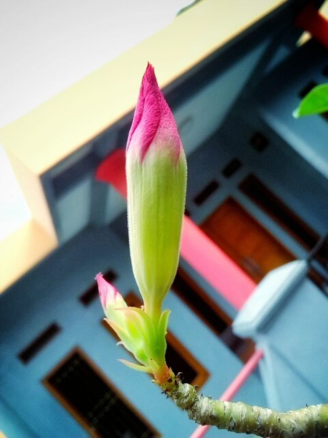 Adenium flower before it blooms. Flowers Flower Collection Flower Before Blooms Flowers_collection Relaxing Nature Harmony Nature Beauty Eyem Nature Lovers  Enjoying Nature Enjoying The View Greenlife Relaxing At Home Full Colors  Close-up Eyeem Market INDONESIA Indonesia_allshots Beauty In Nature First Eyeem Photo Green Nature Nature's Diversities