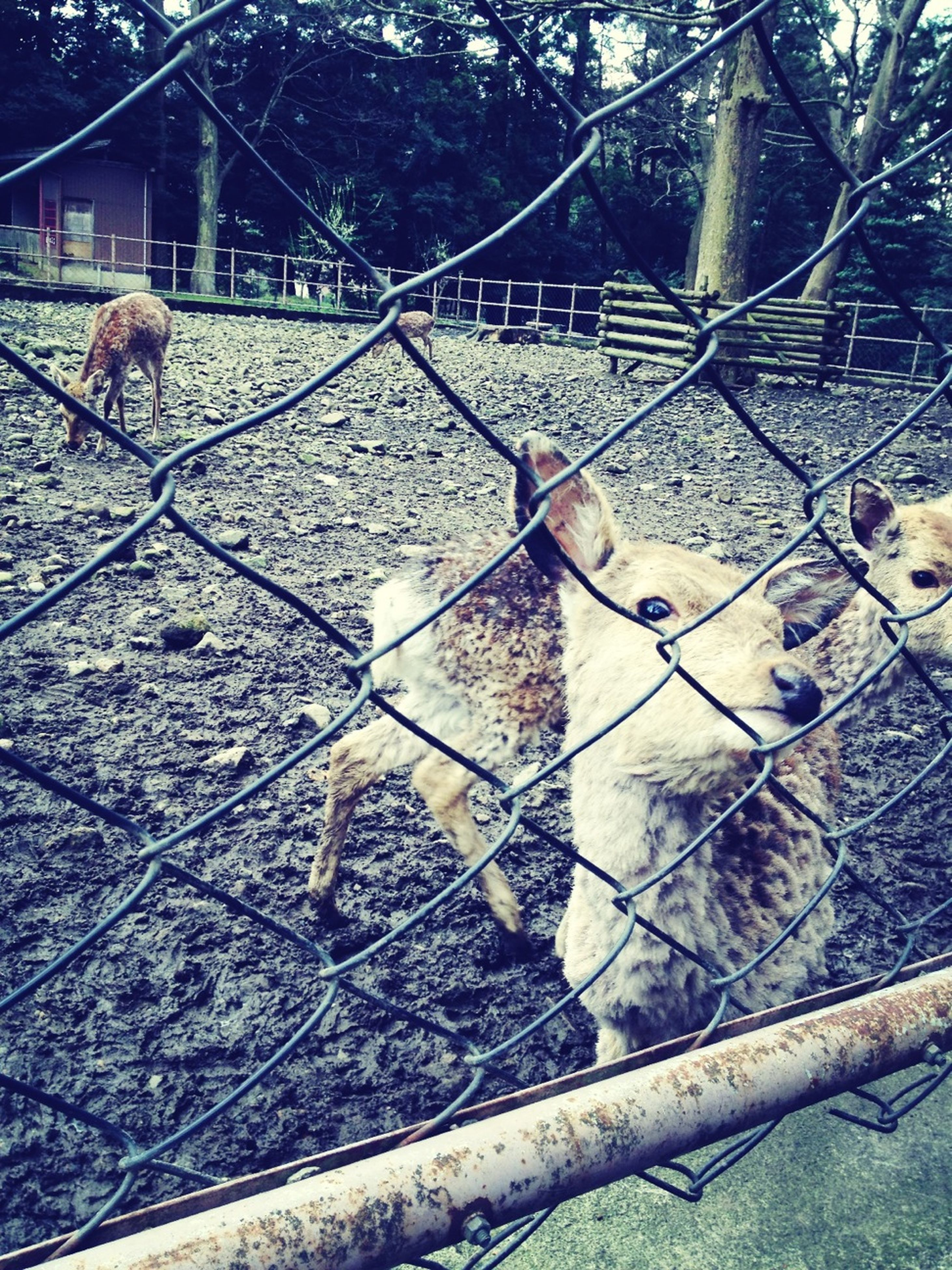animal themes, fence, mammal, domestic animals, tree, bare tree, built structure, livestock, wildlife, building exterior, one animal, architecture, animals in the wild, chainlink fence, day, outdoors, two animals, no people, nature