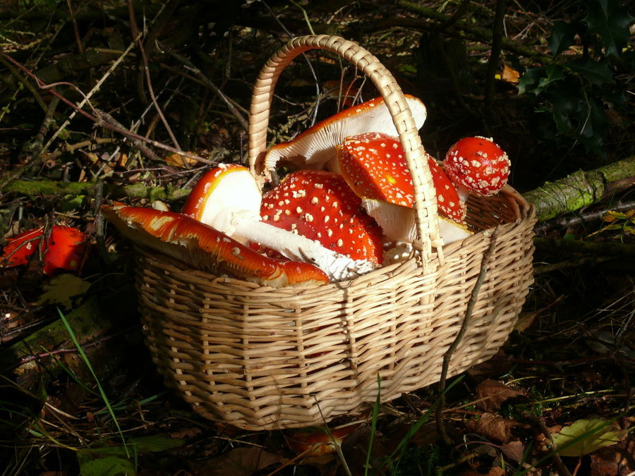 Basket Close-up Day Fliegenpilze Fly Agaric Mushroom Fly Fungi Giftpilze Glückssymbol Grass Happiness Symbol No People Outdoors Wicker