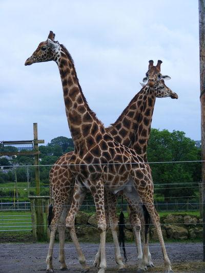 Animal Themes Giraffe Giraffes Mammal Mammals Nature Nature Nature Photography Nature_collection Wildlife Wildlife & Nature Wildlife Photography