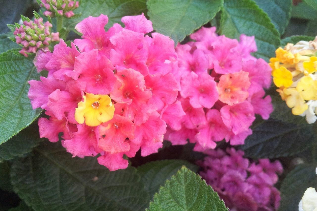 flower, beauty in nature, growth, fragility, petal, flower head, nature, freshness, pink color, plant, blooming, leaf, park - man made space, no people, outdoors, close-up, day, lantana camara