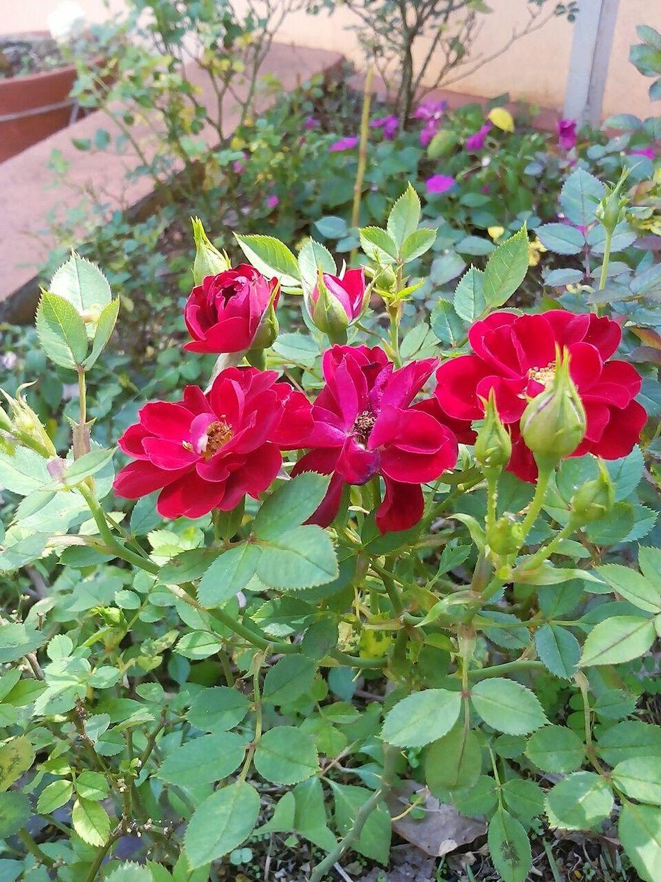 Flowers Flores Flowers, Nature And Beauty Flowerslove Flowersred Rosas Rosasvermelhas Red Flower Redrose  Rose - Flower