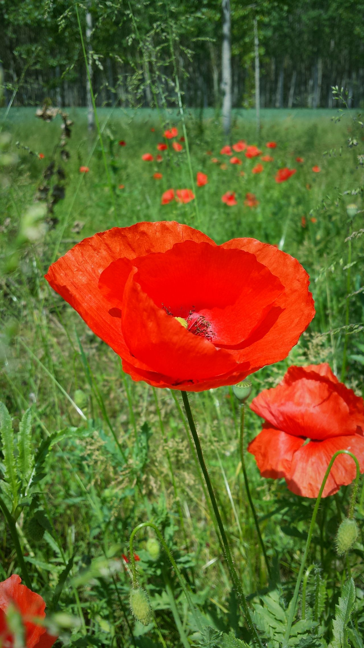 Red Growth Nature Plant Grass Poppy Day Outdoors No People Beauty In Nature Flower Field Close-up Forest Fragility Poppy Flower Poppies  Poppies In Bloom Red Poppies