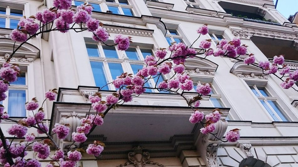 Millennial Pink Low Angle View Flower Cherry Blossoms Pink Color Building Exterior City Built Structure Day Outdoors Tree Hanging From My Point Of View Eyeemphotography Mobilephotography Shootermag Photography Taking Photos Streetphotography Color Photography EyeEm Diversity Spring Is Coming  Nature Growth