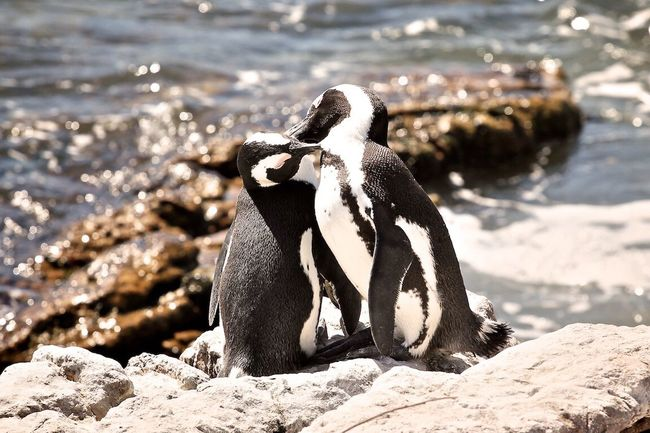 South Africa Penguin Penguin ♡ Kiss Love Animals Stone Stoney Point Moments Sunny Day