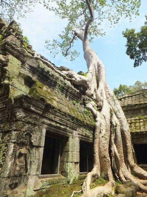 Ta Prohm Nature Hugging A Tree Travel Photography