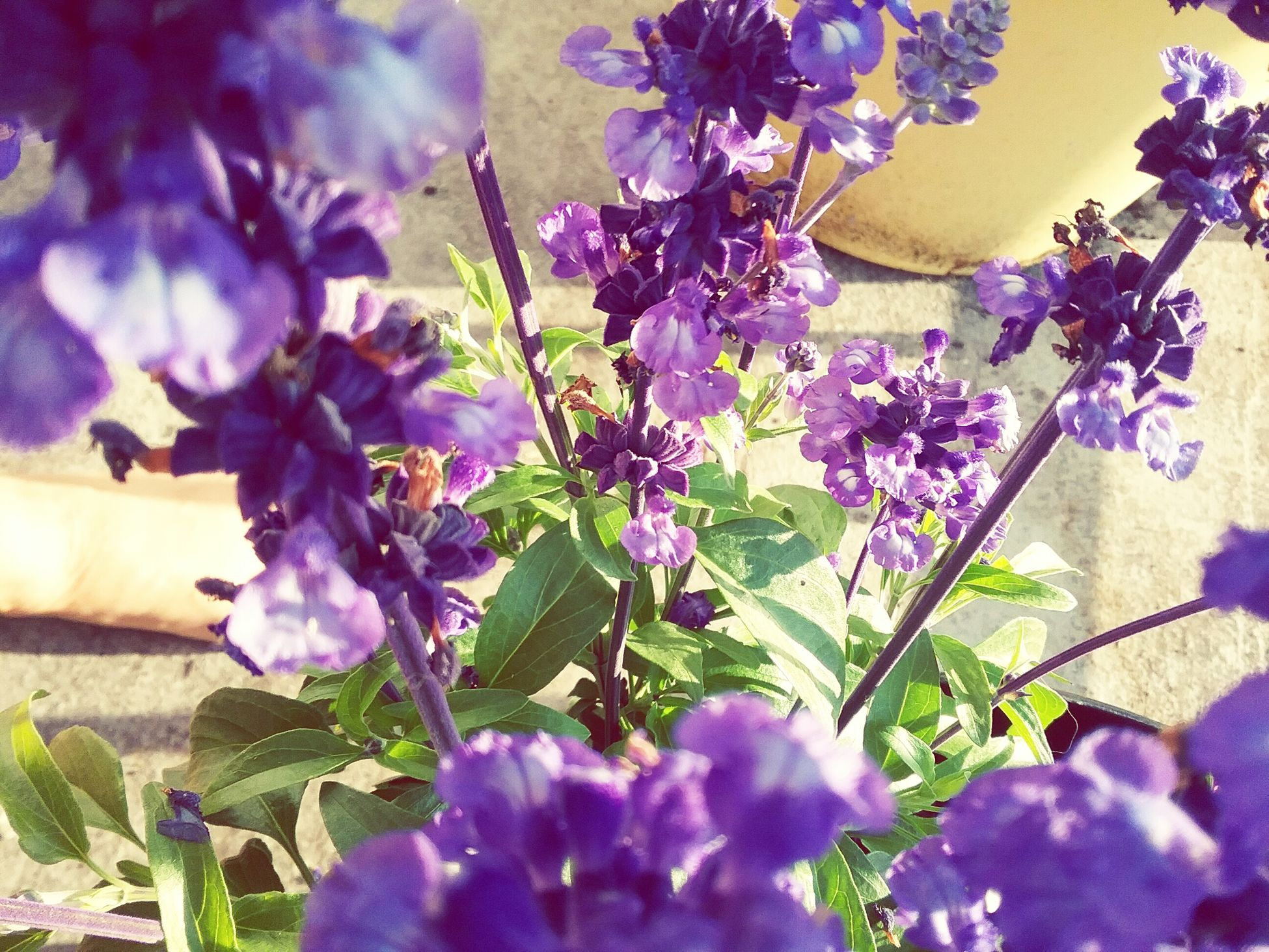 Purple Is My Favorite Color , Most Know That Now, Anything Purple Lights Up My Life, Flowers,petals