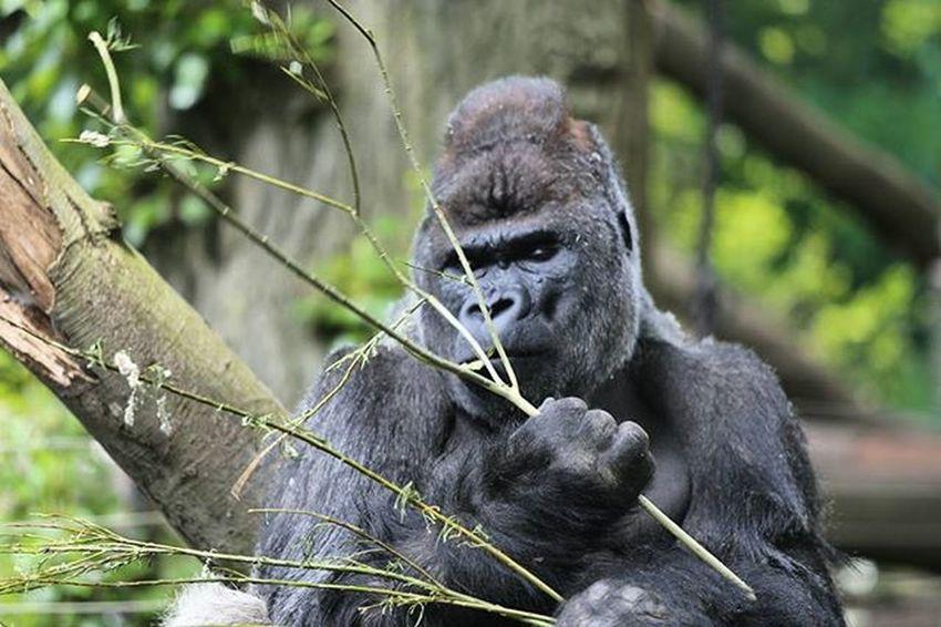 Artis Amsterdam Artis  Amsterdam Gorilla Animal Animals Nature Naturephotography Nature_perfection Photographer Photography Photooftheday Phito Instagood Instacool Bestoftheday Best