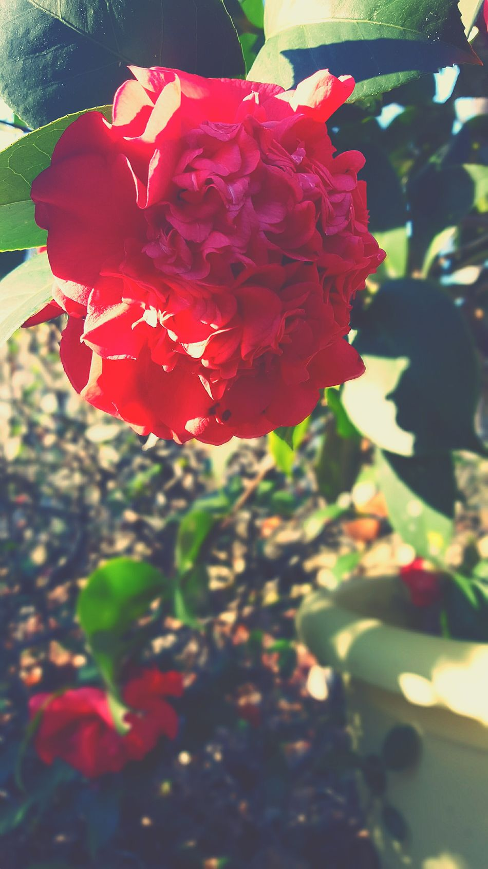 Flower Nature Fragility Red Beauty In Nature Plant Petal Camellia Flower Focus On Foreground Growth Flower Head Freshness Outdoors Day Close-up No People Winter Blooms Sunlight And Shadow Camelliaflower Plant Petal Texture Pattern Biological Form Bright