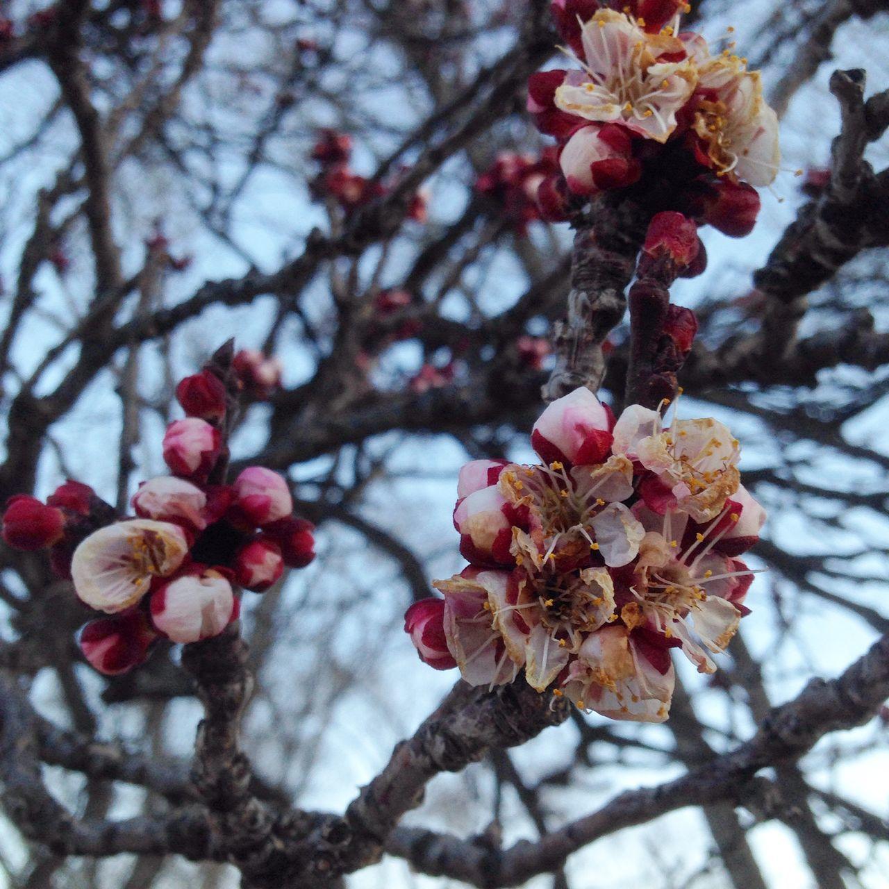 Apricot Promises Still Life GE's Santa Fe Diary Apricot Blossoms Happy Haiku Dreaming