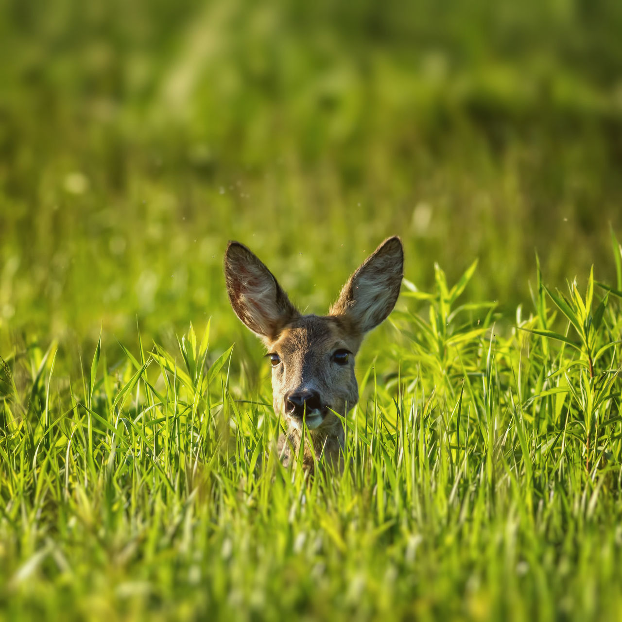 Alertness Animal Animal Wildlife Animals In The Wild Attention Brown Day Deer Ear Field Forest Grass Green Green Color Growth Mammal Mammals Meadow Nature Nature No People One Animal Outdoors Roe Deer