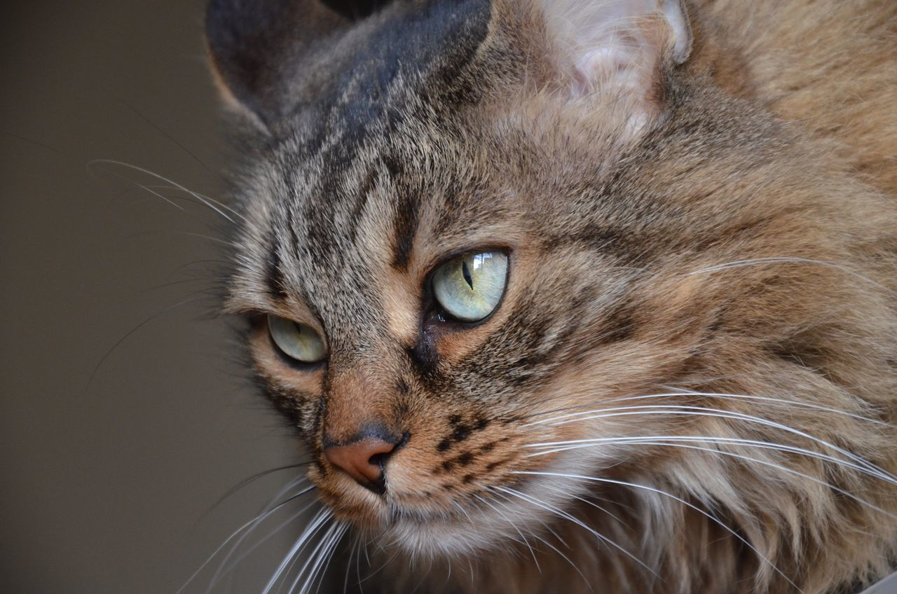 domestic cat, feline, pets, one animal, animal themes, domestic animals, whisker, mammal, close-up, looking at camera, portrait, indoors, no people, day