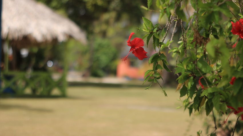 Flower Growth Red Nature Outdoors Plant No People Beauty In Nature Landscape Tourism Tropical Climate Pigeon Point Beach Close-up Nature Beach Holiday Travel Destinations Vacations Beauty In Nature Freshness Day Close-up Tree