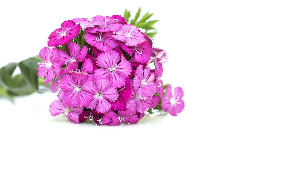 Dianthus barbatus (Sweet William) pink flowers isolated on white background . Background; Barbatus; Beautiful; Beauty; Bloom; Blooming; Blossom; Botanic; Botanical; Botany; Bright; Bunch; Carnation; China; Closeup; Cluster; Color; Colorful; Dianthus; Flora; Floral; Flower; Freshness; Garden; Gardening; Green; Horticulture; Isolated; Leaf; Macro; Natural; Nature; Perennial; Petal; Pink; Plant; Purple; Red; Romantic; Season; Small; Spring; Stamen; Summer; Sweet; White; William; Beauty In Nature Close-up Day Flower Flower Head Fragility Freshness Nature No People Outdoors Petal Pink Color Plant Purple Studio Shot White Background