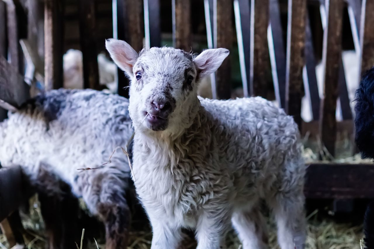 Lamb Sheep Animals Animal Photography Animal_collection Mother's Love EyeEm Gallery Photooftheday Sweet Easter Ready Easter Lamb