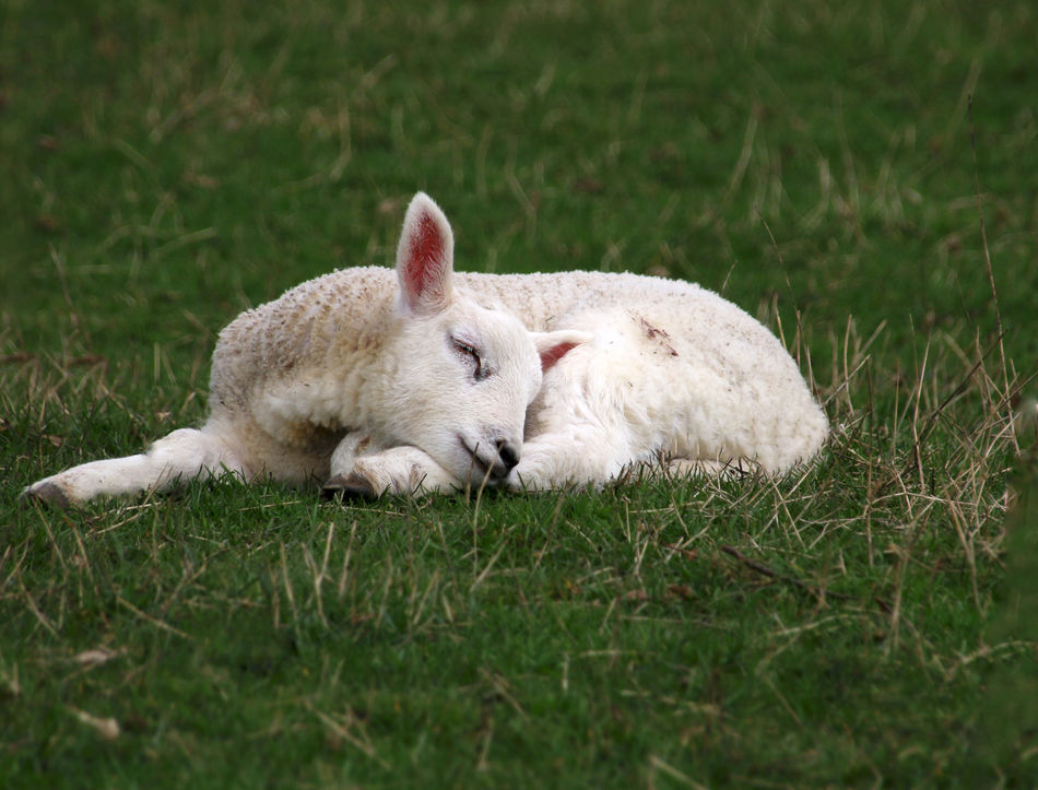 Beautiful stock photos of easter, Animal Themes, Day, Domestic Animals, Field