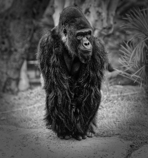 Gorilla portrait outside in day light with blurred background black and white Hominidae Ape Congo Rwanda Sitting Zoo Africa Animal Themes Animals In The Wild Aperitivo  Black Black And White Close-up Day Full Length Fur Gorilla Mammal Monkey Nature No People One Animal Outdoors Strong Wildlife