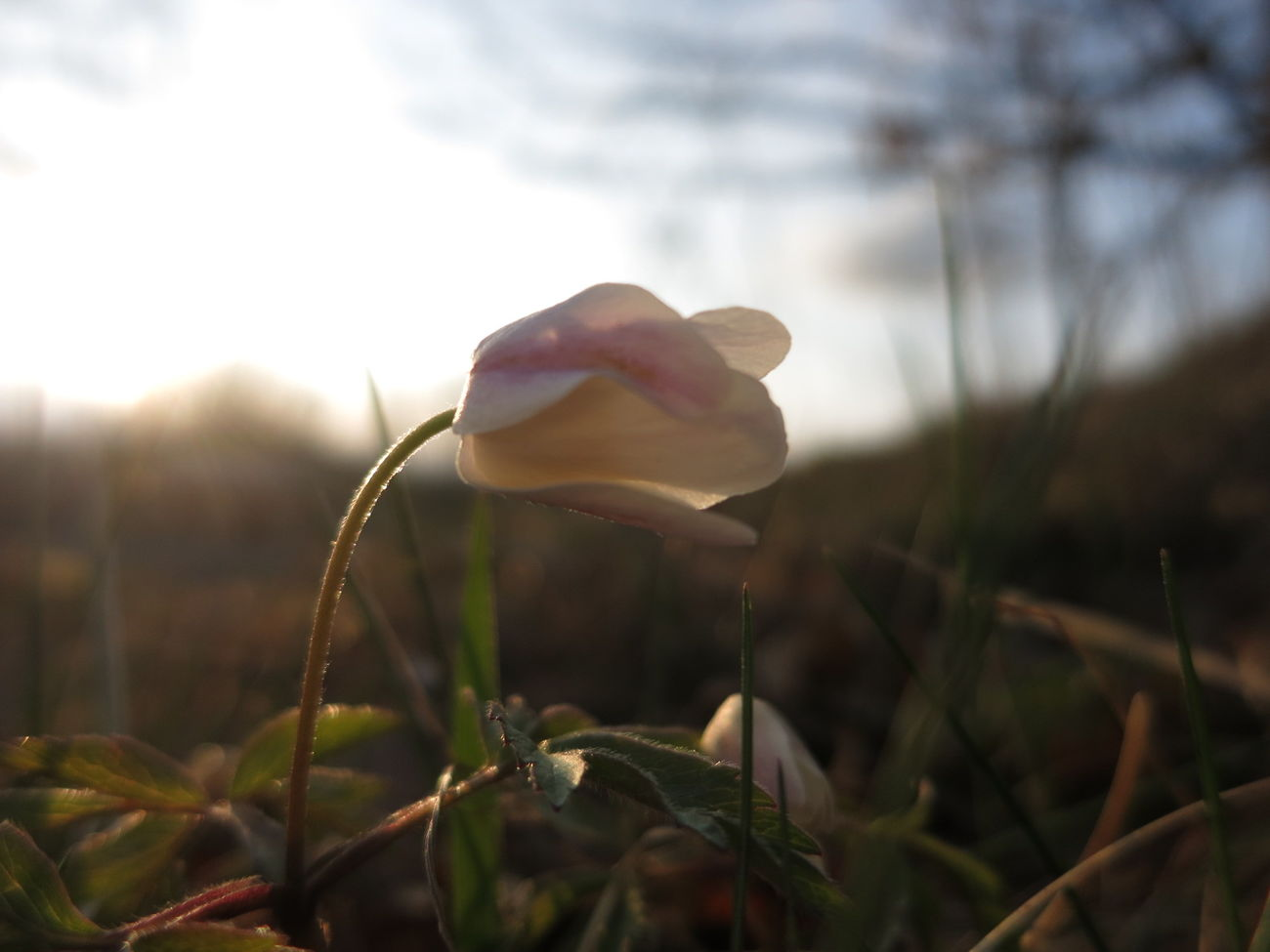 Evening Spring The Purist (no Edit, No Filter) Wood Anemone