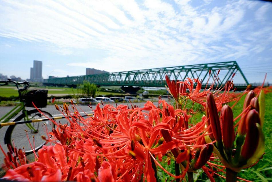 彼岸花 曼珠沙華 彼岸花 Redspiderlily 花 Flowers Fujixe2 Fujifilm X-E2 Fujifilm_xseries Xf10-24mm 江戸川