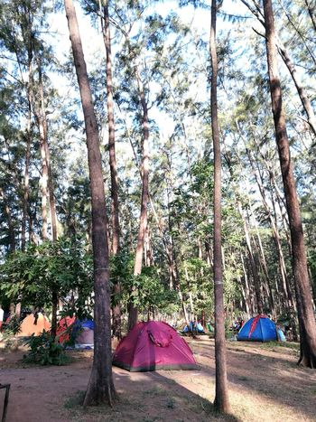 One of the best part of camp is listening to the sounds of trees where you've got no idea what's going on in the city. Ending this summer with my smartphone not to communicate to someone but to take some photos that will make some memories that no one knows about. Every summer has its own story. Province Of Philippines Beauty In Nature Outdoors Tent Pine Trees Relaxing Moments Peace And Quiet Far From Civilization Far From City Life Camping Site Live For The Story The Great Outdoors - 2017 EyeEm Awards Place Of Heart Sommergefühle Breathing Space The Week On EyeEm Connected By Travel Perspectives On Nature