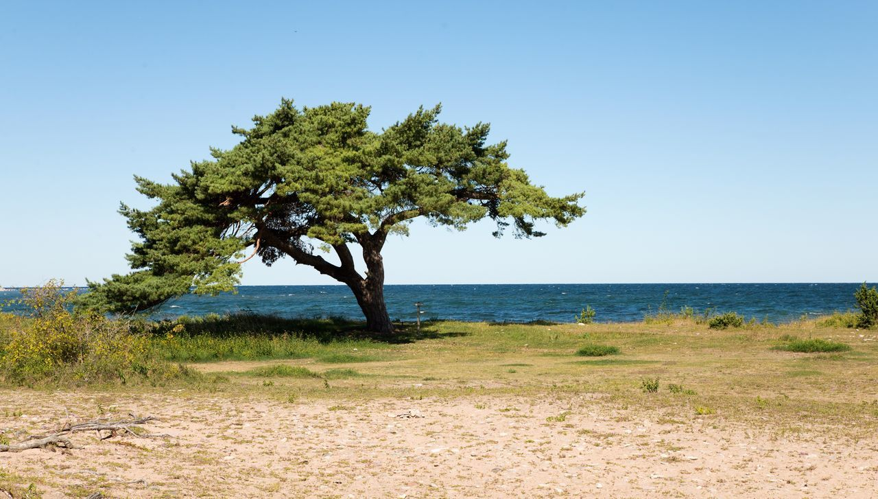The cove pine. Pine Tree Cove Ocean Sea Sky Beach Nature Nature Photography Nikond600 Nikonphotography Nikon Tamron2470 Gotland Ihreviken Sweden