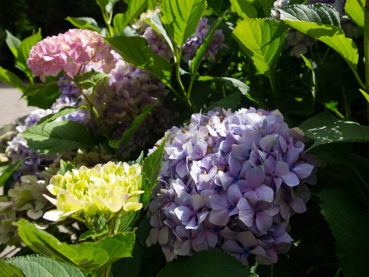 Beauty In Nature Blooming Close-up Day Flower Flower Head Fragility Freshness Green Color Growth Hydrangea Hydrangeas Leaf Nature No People Outdoors Petal Plant Purple