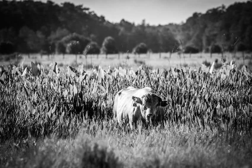 Large bull cooling off in swampy area of field. Agriculture Beef Bull Farmer Large Animal Swamp Black And White Photography Cattle Cow Farm Animal Florida Livestock Relaxed Robust Tall Grass