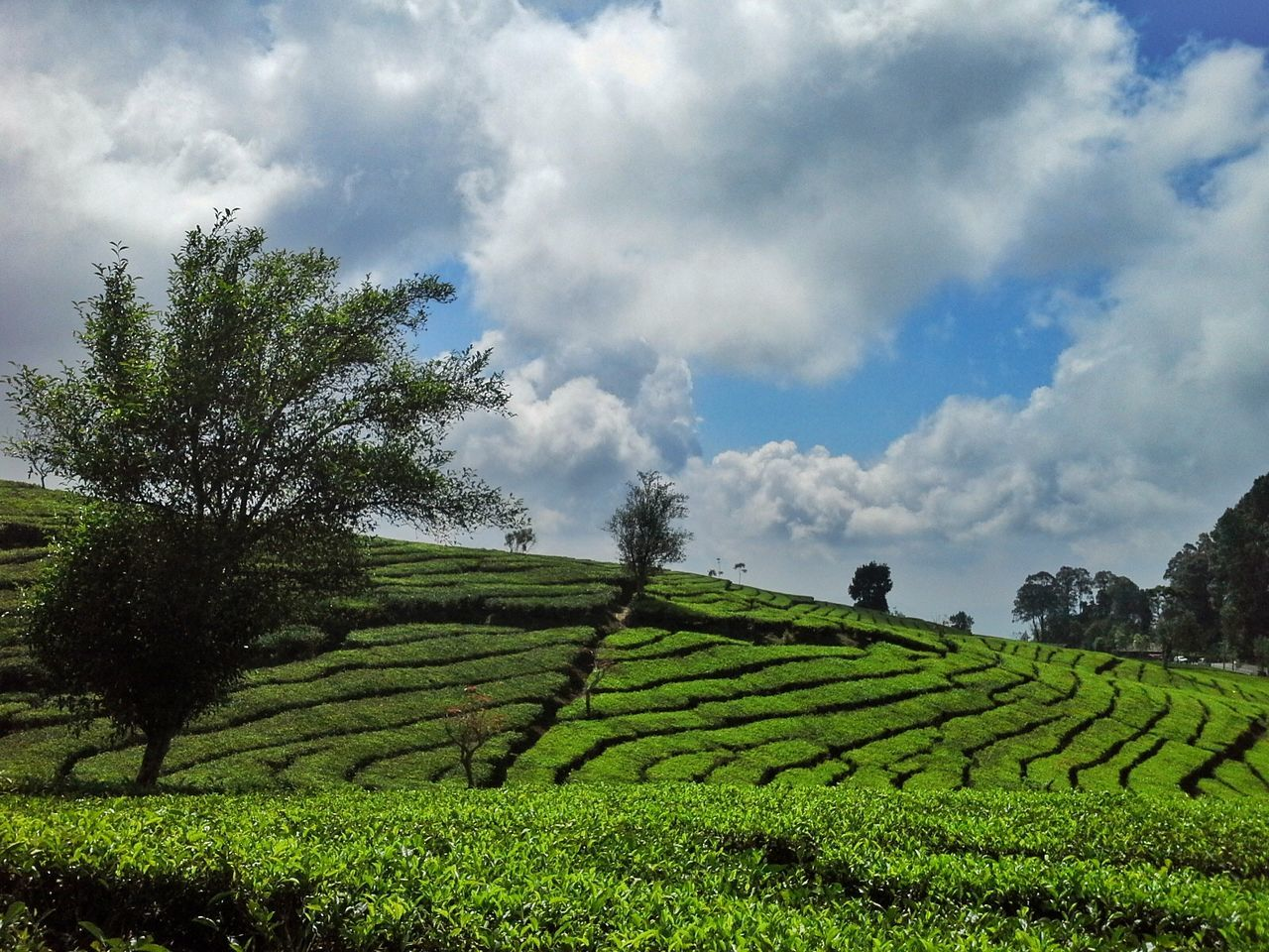 Agriculture Cloud - Sky Field Farm Tree Growth Rural Scene Sky Tea Crop Nature Outdoors Plantation Scenics Green Color Landscape Beauty In Nature No People Healthy Eating Day Best EyeEm Shot Best Shots EyeEm EyeEm Best Shots Trees EyeEmBestEdits Sunlight